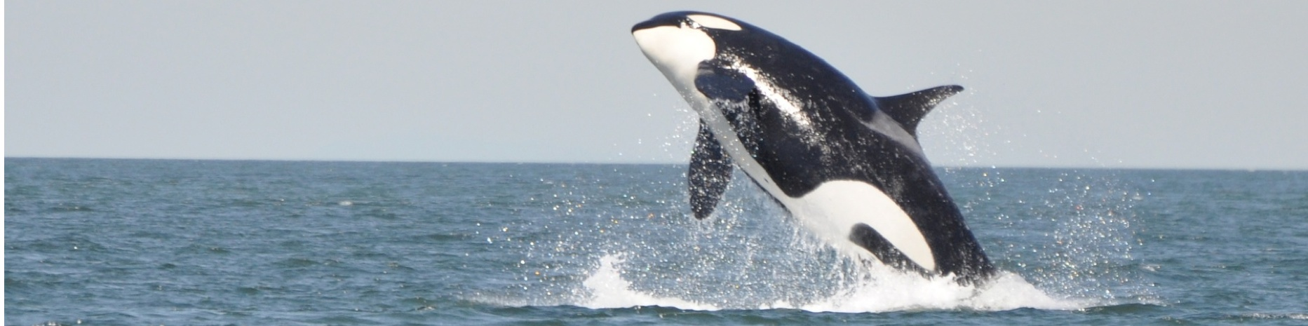 orca jumping close to Pender Island